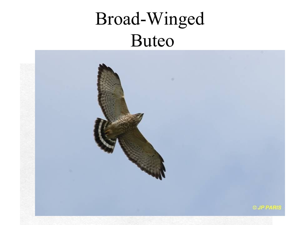 Broad-Winged Buteo
