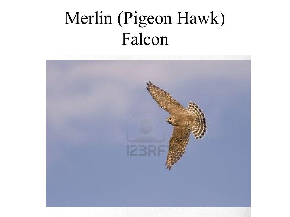 Merlin (Pigeon Hawk) Falcon