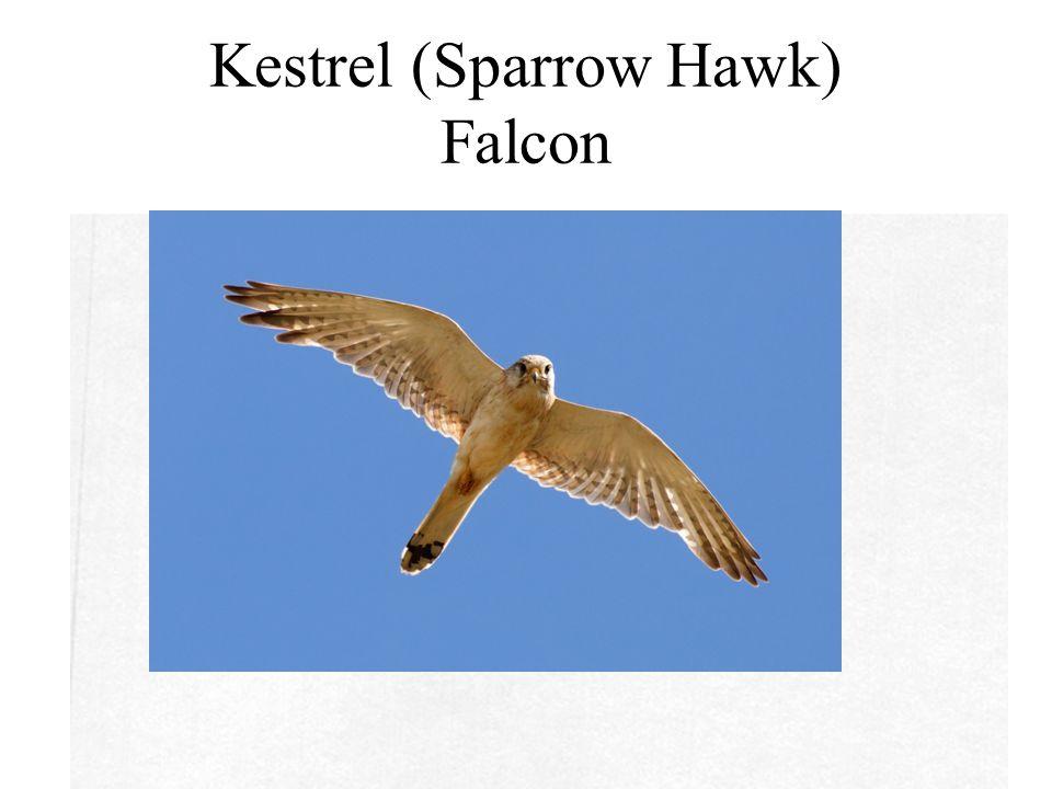 Kestrel (Sparrow Hawk) Falcon