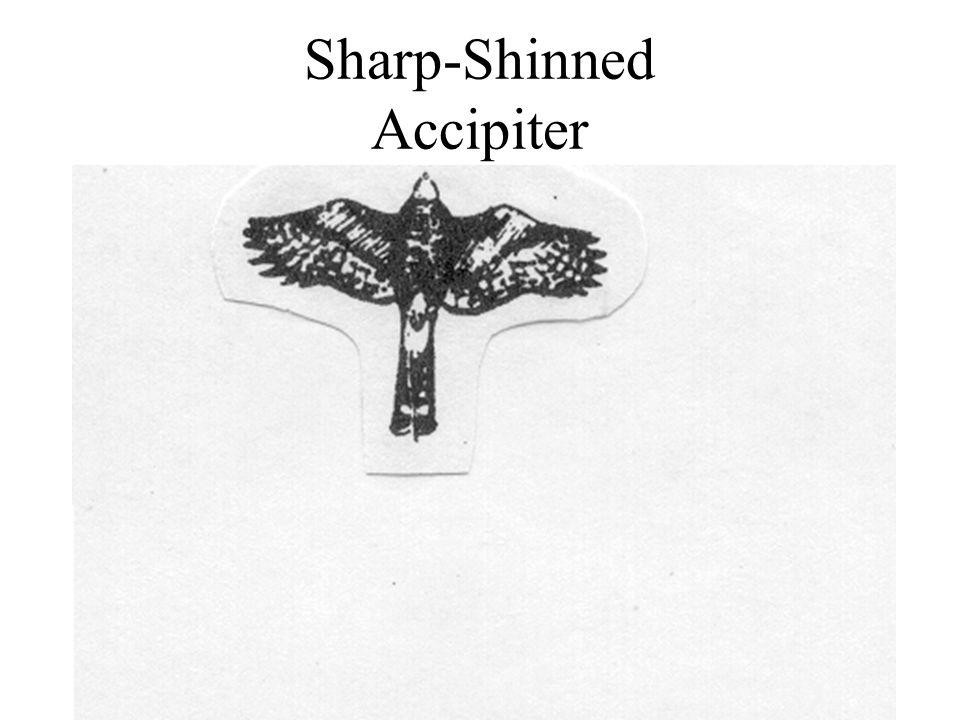 Sharp-Shinned Accipiter