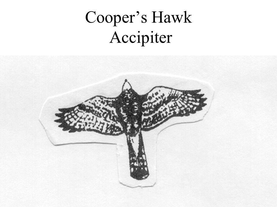 Cooper's Hawk Accipiter