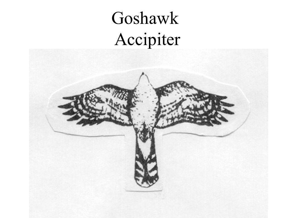 Goshawk Accipiter