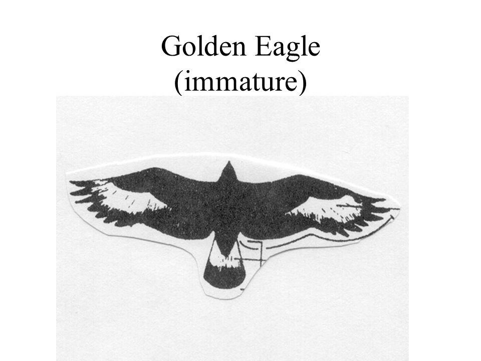Golden Eagle (immature)