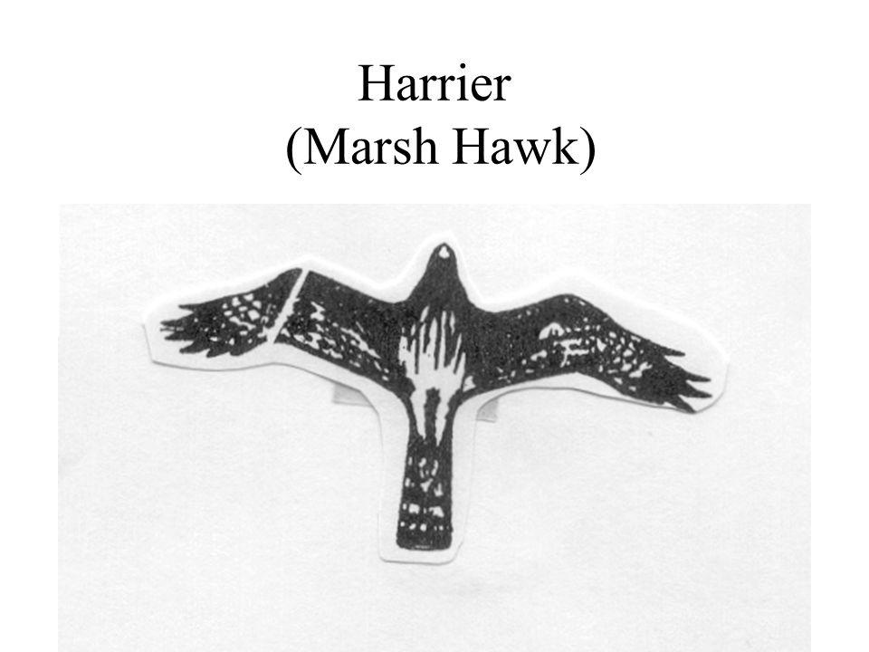 Harrier (Marsh Hawk)