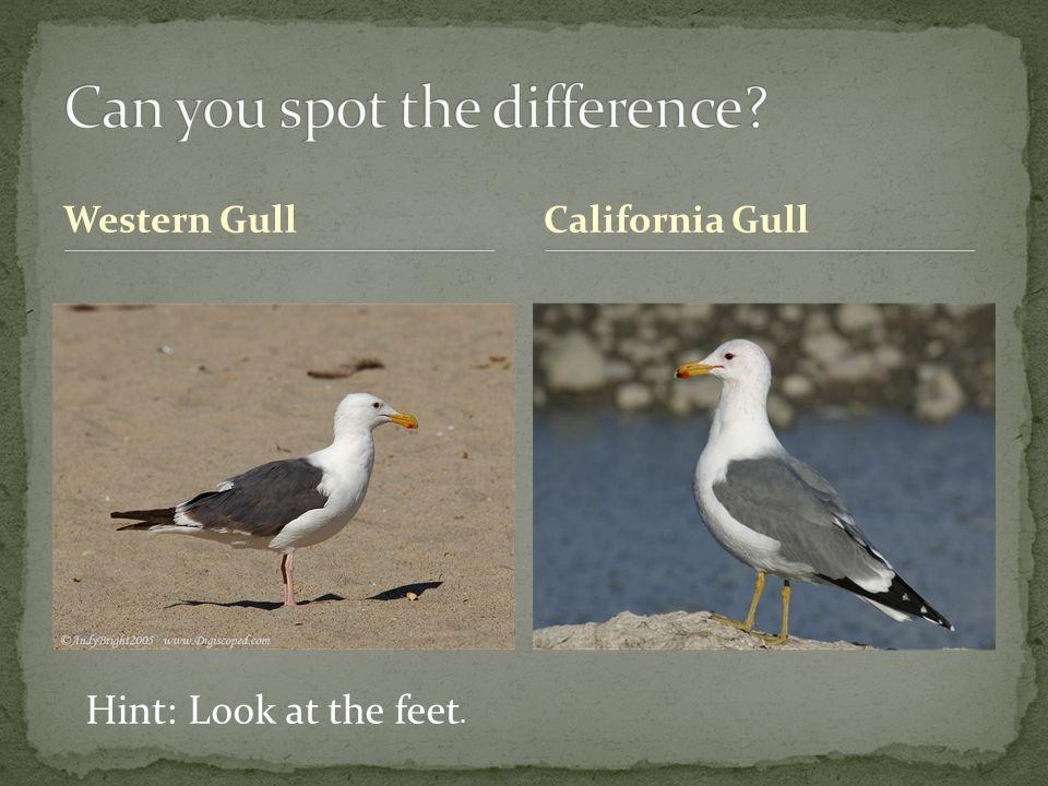 Western GullCalifornia Gull Hint: Look at the feet.