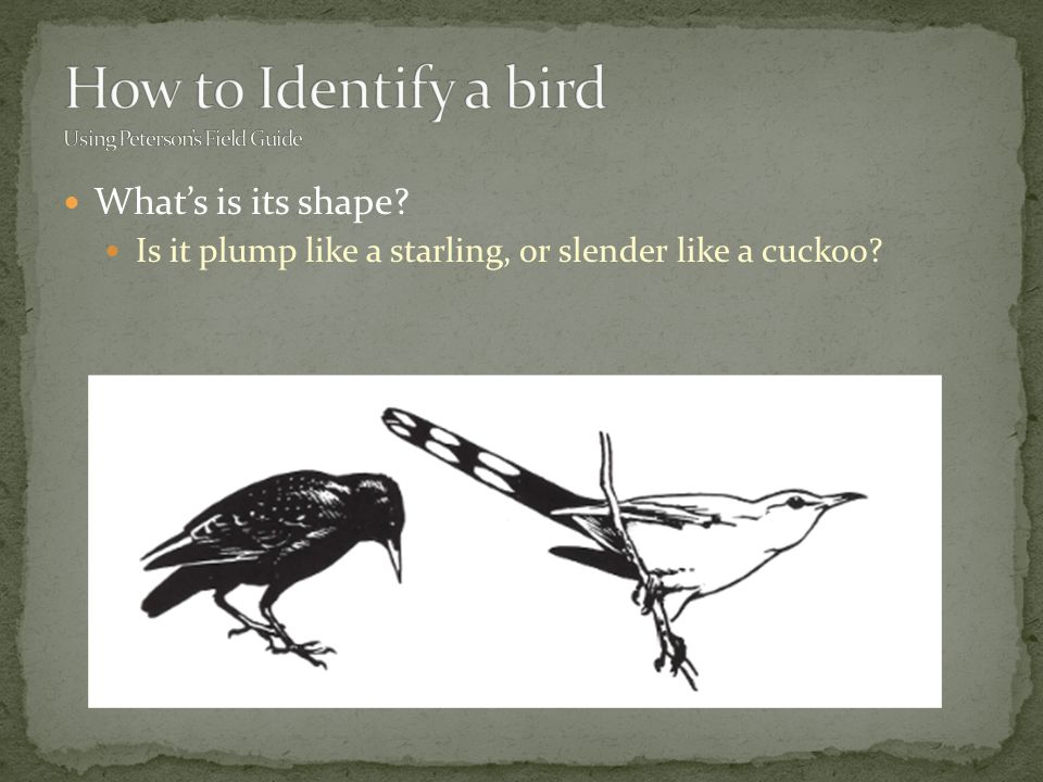 What's is its shape Is it plump like a starling, or slender like a cuckoo