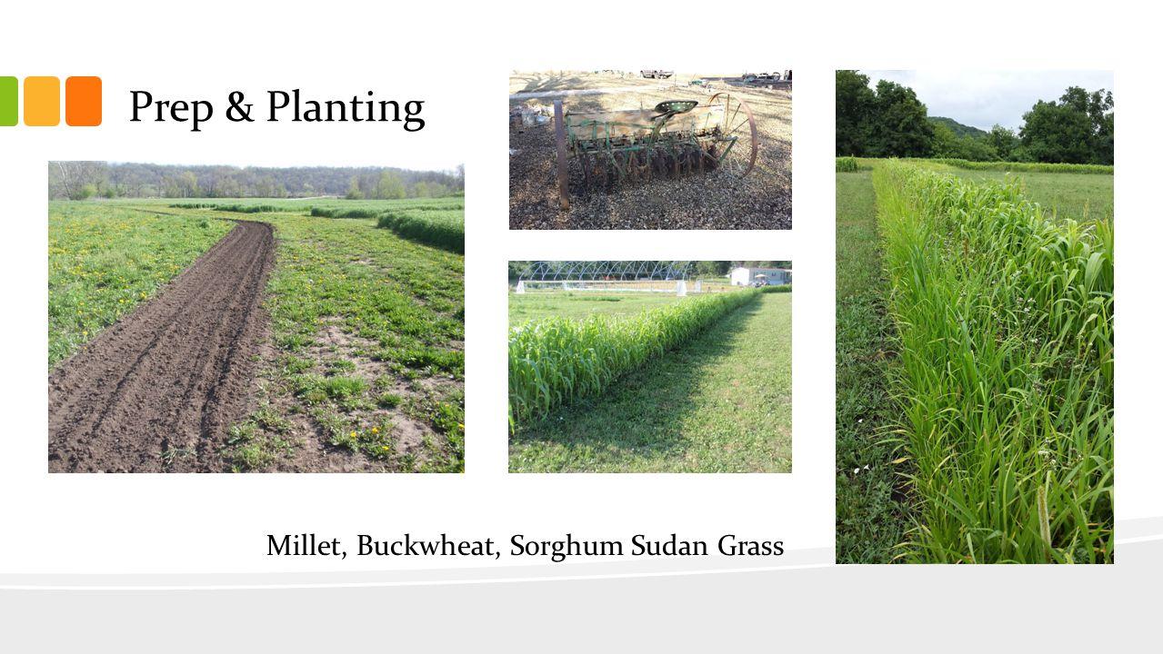 Prep & Planting Millet, Buckwheat, Sorghum Sudan Grass
