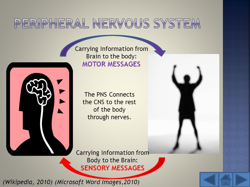 Carrying Information from Brain to the body: MOTOR MESSAGES Carrying Information from Body to the Brain: SENSORY MESSAGES The PNS Connects the CNS to the rest of the body through nerves.