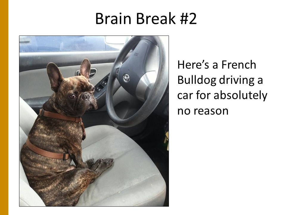 Brain Break #2 Here's a French Bulldog driving a car for absolutely no reason