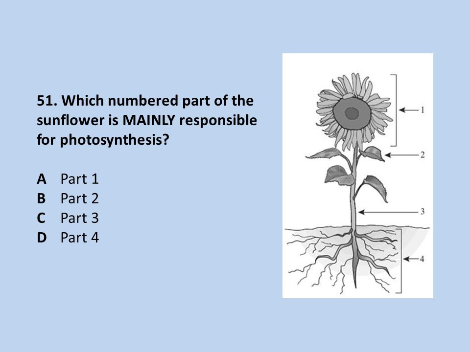 51.Which numbered part of the sunflower is MAINLY responsible for photosynthesis.