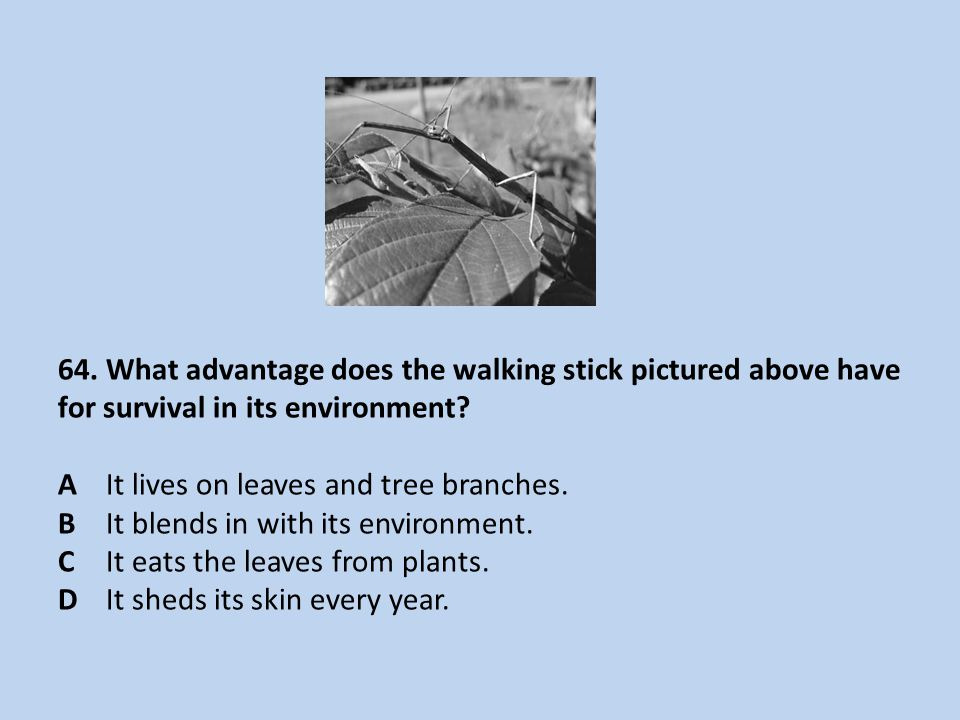 64.What advantage does the walking stick pictured above have for survival in its environment.