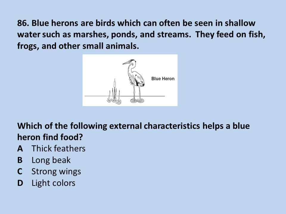 86. Blue herons are birds which can often be seen in shallow water such as marshes, ponds, and streams. They feed on fish, frogs, and other small anim