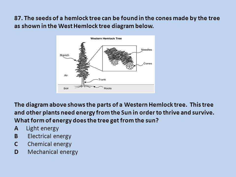 87. The seeds of a hemlock tree can be found in the cones made by the tree as shown in the West Hemlock tree diagram below. The diagram above shows th