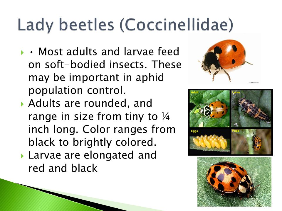  Most adults and larvae feed on soft-bodied insects. These may be important in aphid population control.  Adults are rounded, and range in size from