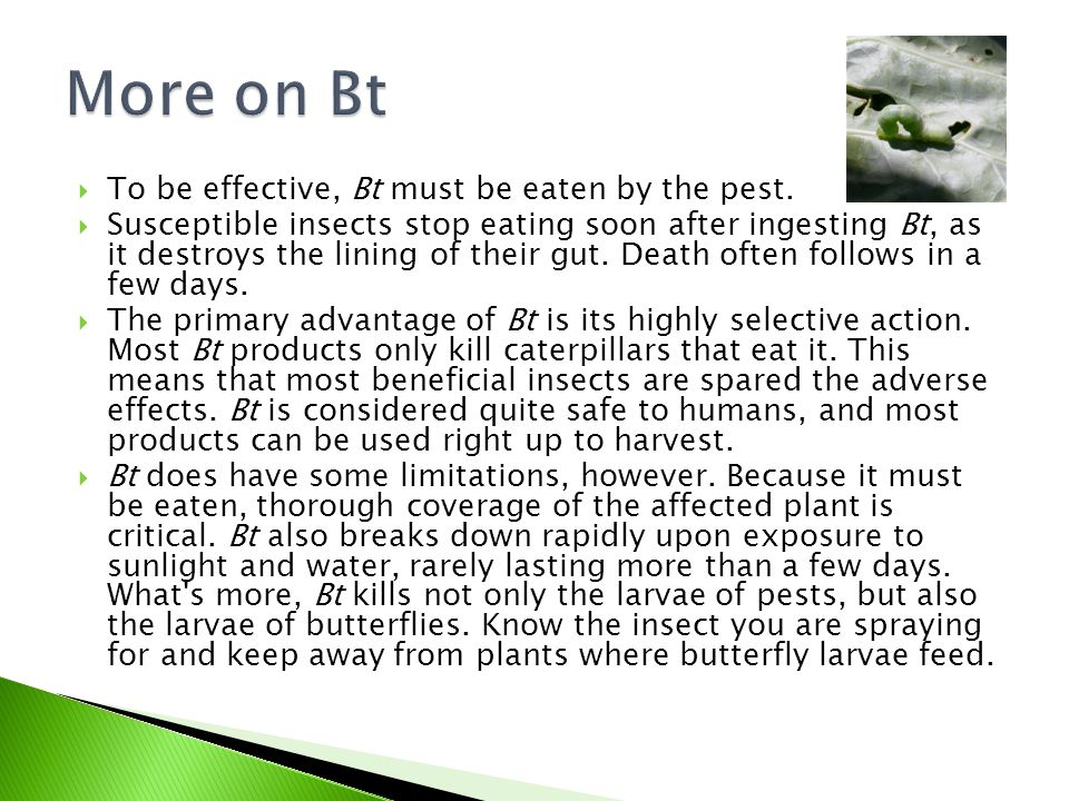  To be effective, Bt must be eaten by the pest.  Susceptible insects stop eating soon after ingesting Bt, as it destroys the lining of their gut. De