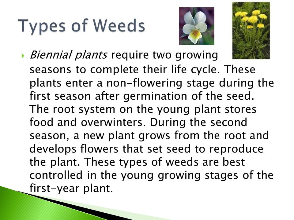  Biennial plants require two growing seasons to complete their life cycle. These plants enter a non-flowering stage during the first season after ger