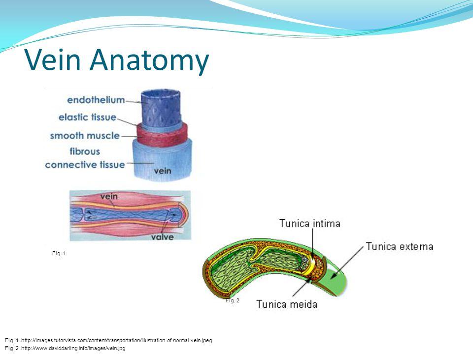 Vein Anatomy Fig. 2 http://www.daviddarling.info/images/vein.jpg Fig. 1 http://images.tutorvista.com/content/transportation/illustration-of-normal-vei