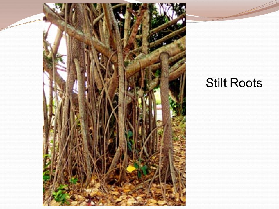 Stilt Roots