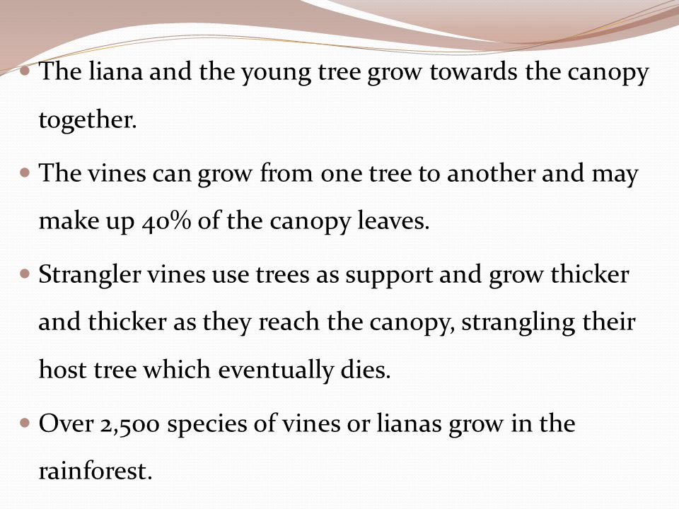 The liana and the young tree grow towards the canopy together. The vines can grow from one tree to another and may make up 40% of the canopy leaves. S
