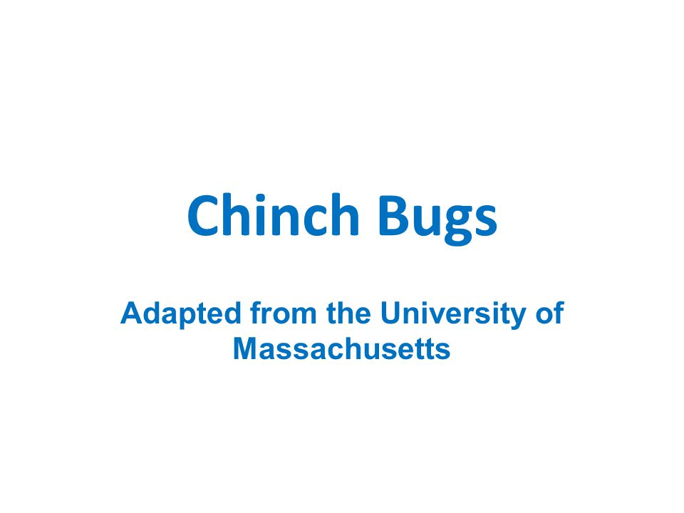 Chinch Bugs Adapted from the University of Massachusetts
