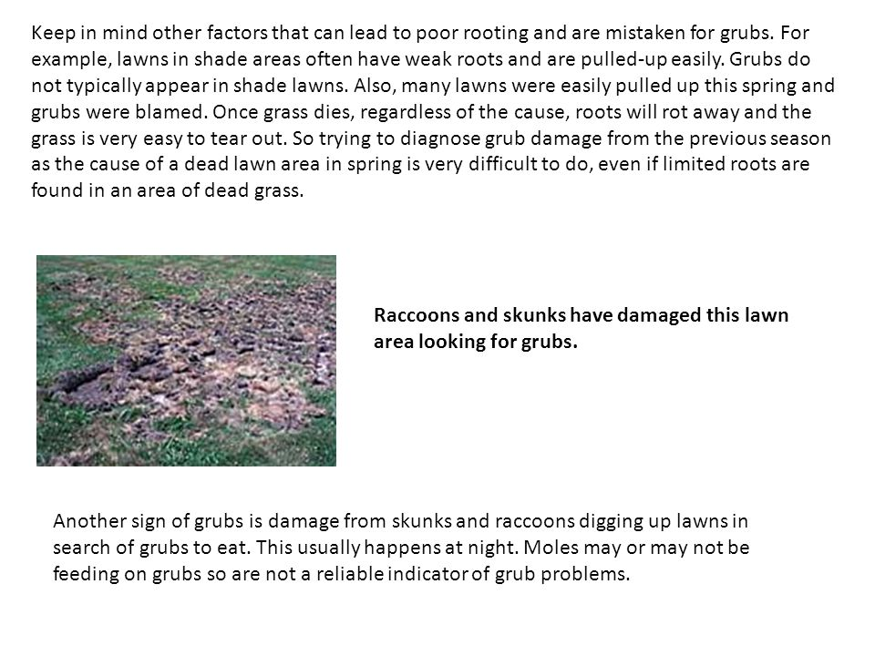 Keep in mind other factors that can lead to poor rooting and are mistaken for grubs. For example, lawns in shade areas often have weak roots and are p