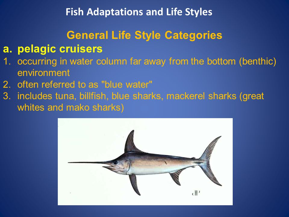 General Life Style Categories a.pelagic cruisers 1.occurring in water column far away from the bottom (benthic) environment 2.often referred to as