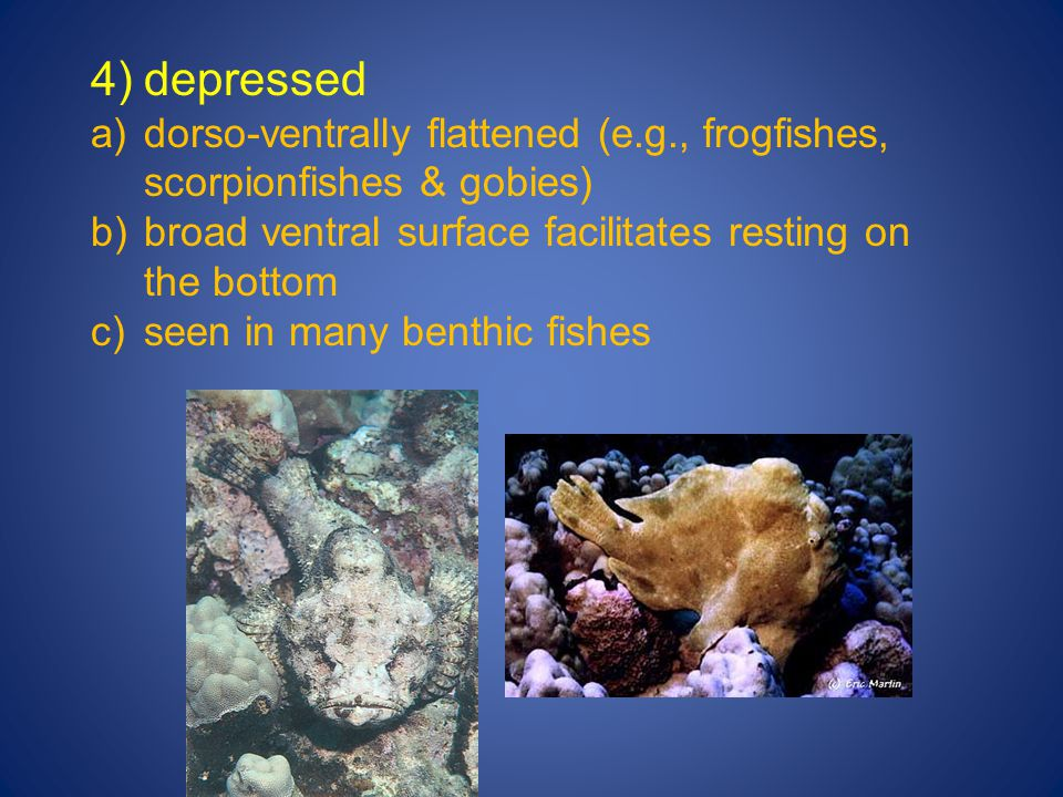 4)depressed a)dorso-ventrally flattened (e.g., frogfishes, scorpionfishes & gobies) b)broad ventral surface facilitates resting on the bottom c)seen i