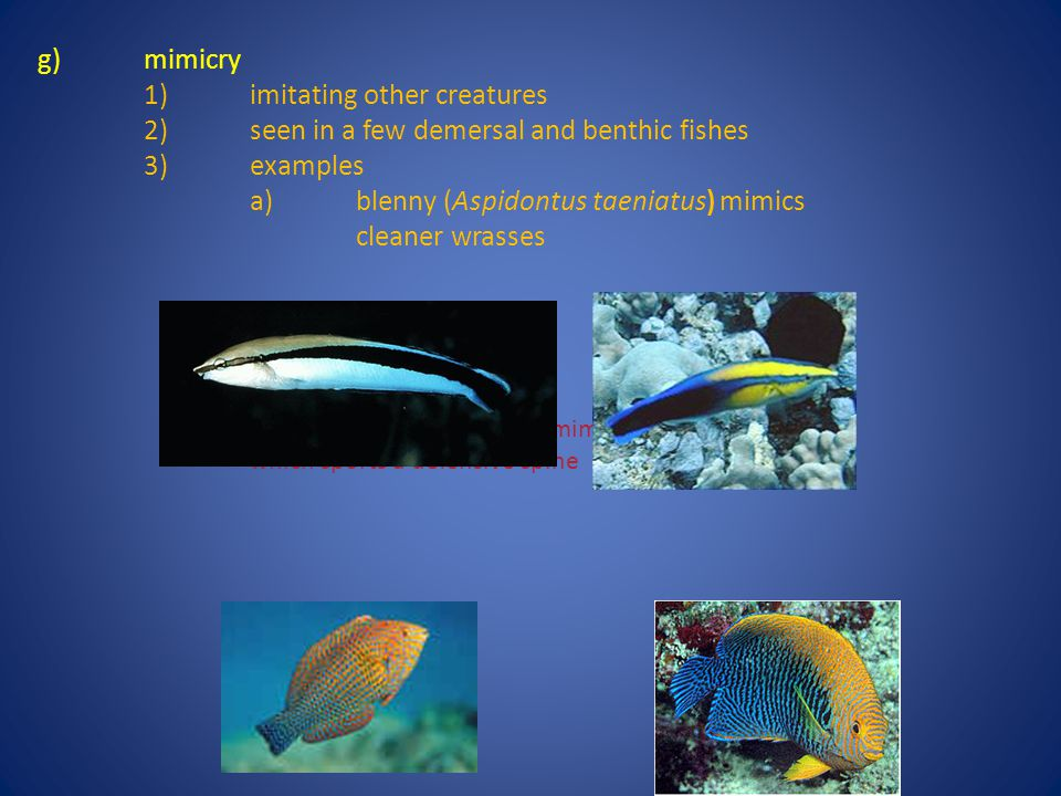 g)mimicry 1)imitating other creatures 2)seen in a few demersal and benthic fishes 3)examples a)blenny (Aspidontus taeniatus) mimics cleaner wrasses b)