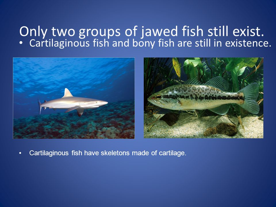 Only two groups of jawed fish still exist. Cartilaginous fish and bony fish are still in existence. Cartilaginous fish have skeletons made of cartilag