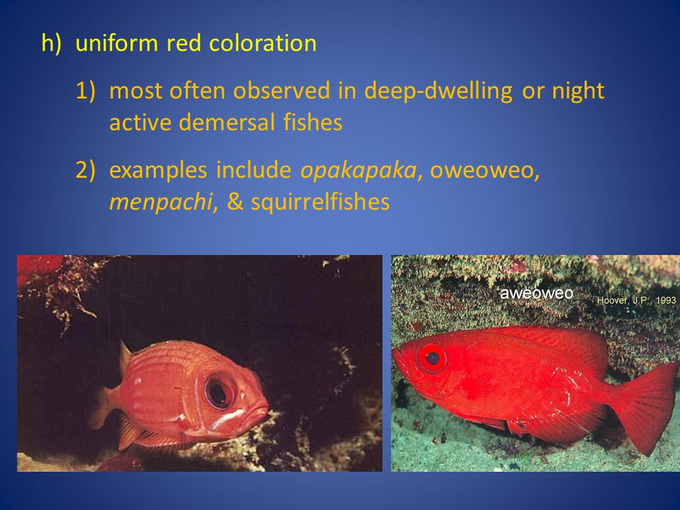 h)uniform red coloration 1)most often observed in deep-dwelling or night active demersal fishes 2)examples include opakapaka, oweoweo, menpachi, & squ
