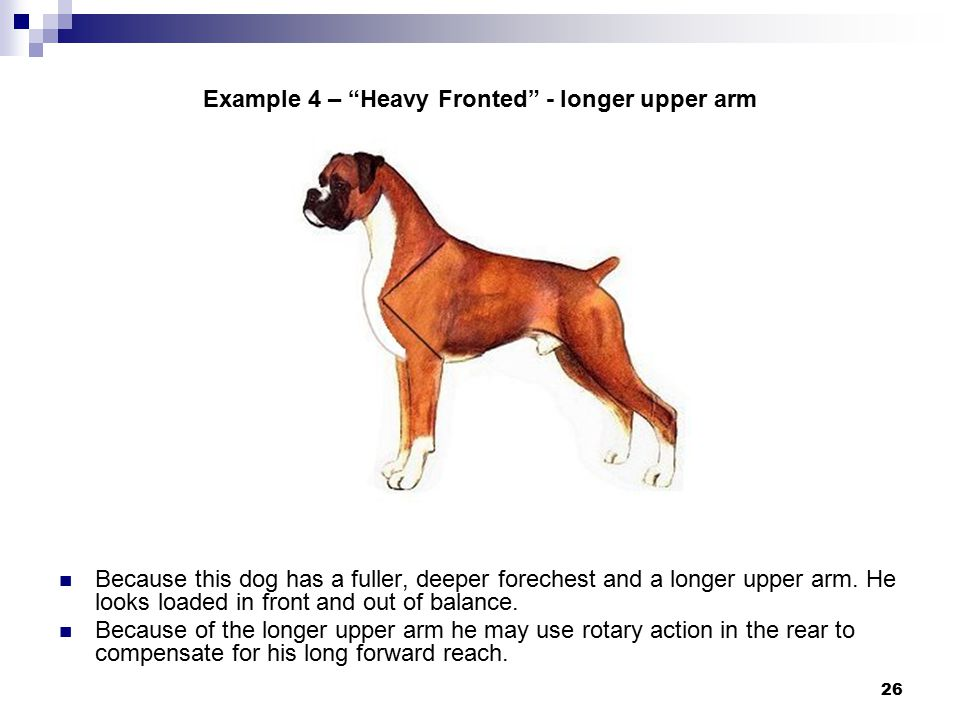 26 Example 4 – Heavy Fronted - longer upper arm Because this dog has a fuller, deeper forechest and a longer upper arm.