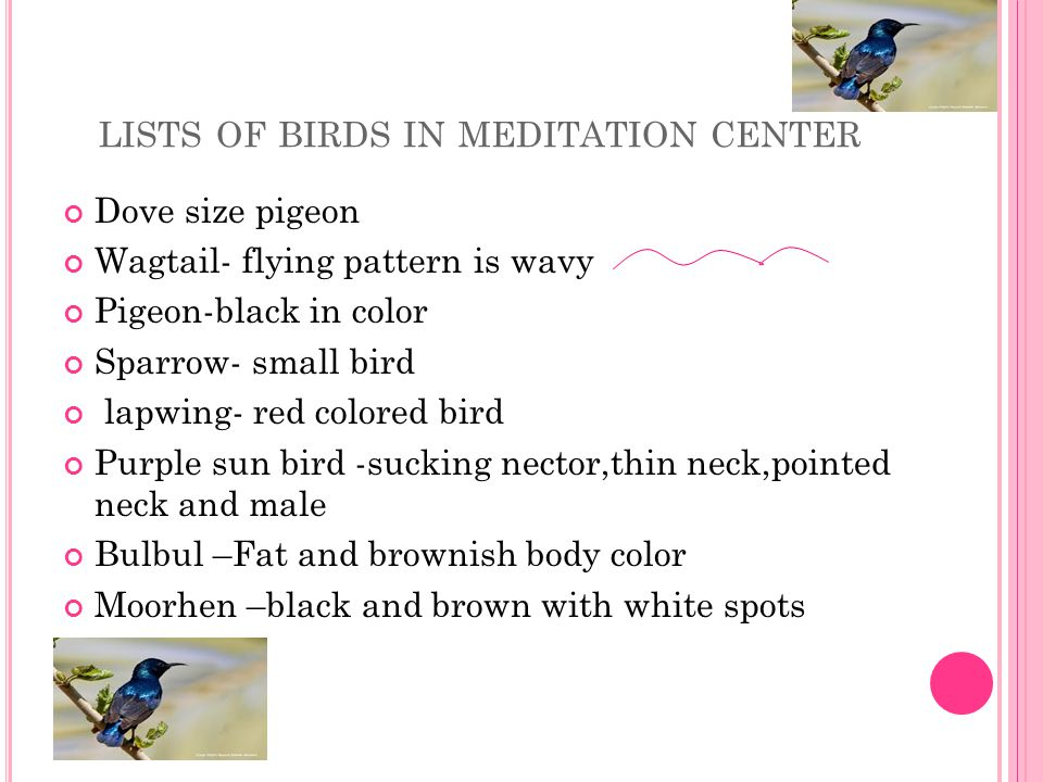 LISTS OF BIRDS IN MEDITATION CENTER Dove size pigeon Wagtail- flying pattern is wavy Pigeon-black in color Sparrow- small bird lapwing- red colored bird Purple sun bird -sucking nector,thin neck,pointed neck and male Bulbul –Fat and brownish body color Moorhen –black and brown with white spots