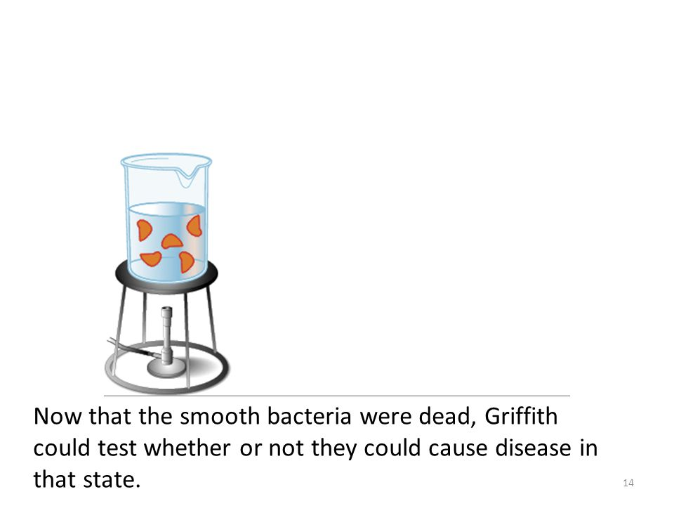 Now that the smooth bacteria were dead, Griffith could test whether or not they could cause disease in that state. 14