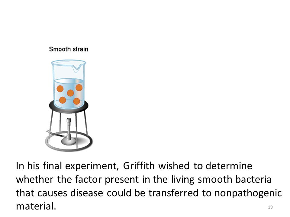 In his final experiment, Griffith wished to determine whether the factor present in the living smooth bacteria that causes disease could be transferre