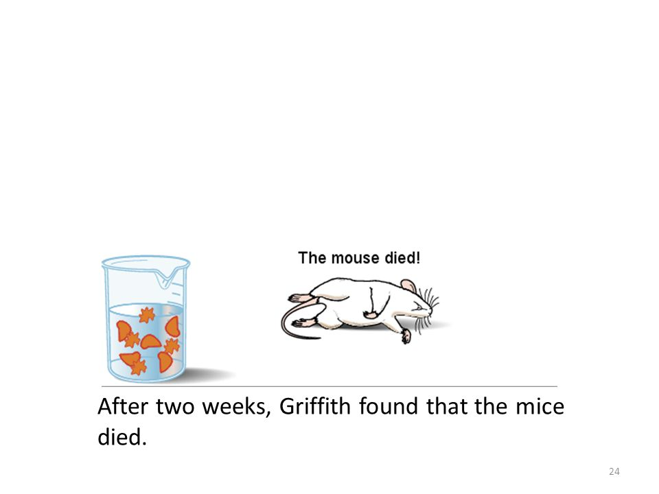 After two weeks, Griffith found that the mice died. 24