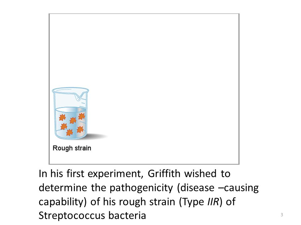 In his first experiment, Griffith wished to determine the pathogenicity (disease –causing capability) of his rough strain (Type IIR) of Streptococcus