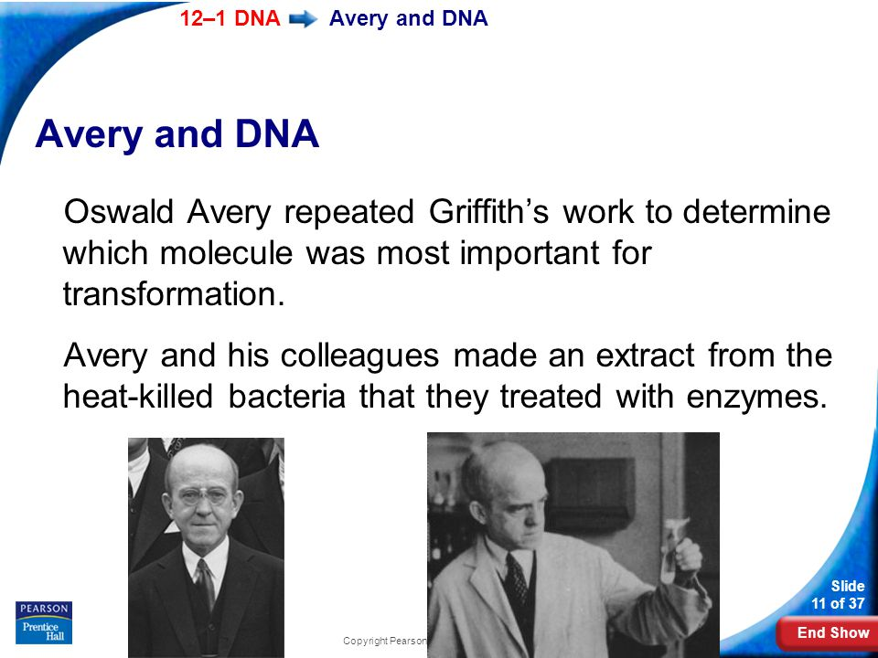 End Show 12–1 DNA Slide 11 of 37 Copyright Pearson Prentice Hall Avery and DNA Oswald Avery repeated Griffith's work to determine which molecule was most important for transformation.