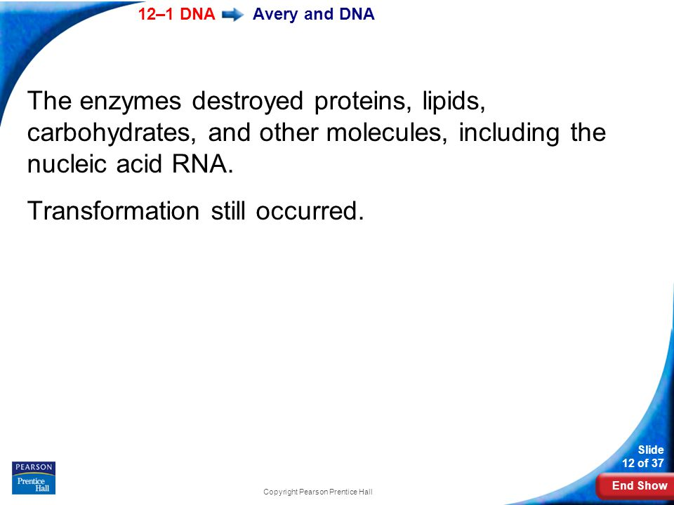 End Show 12–1 DNA Slide 12 of 37 Copyright Pearson Prentice Hall Avery and DNA The enzymes destroyed proteins, lipids, carbohydrates, and other molecu