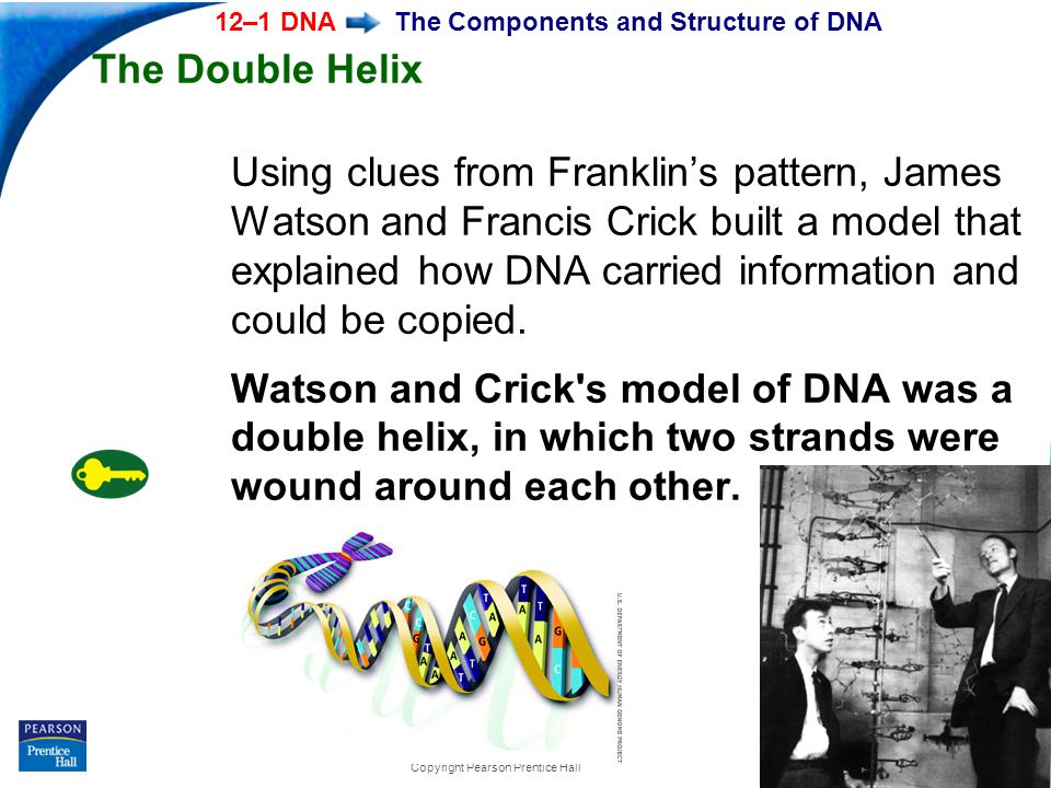 End Show 12–1 DNA Slide 25 of 37 Copyright Pearson Prentice Hall The Components and Structure of DNA The Double Helix Using clues from Franklin's pattern, James Watson and Francis Crick built a model that explained how DNA carried information and could be copied.