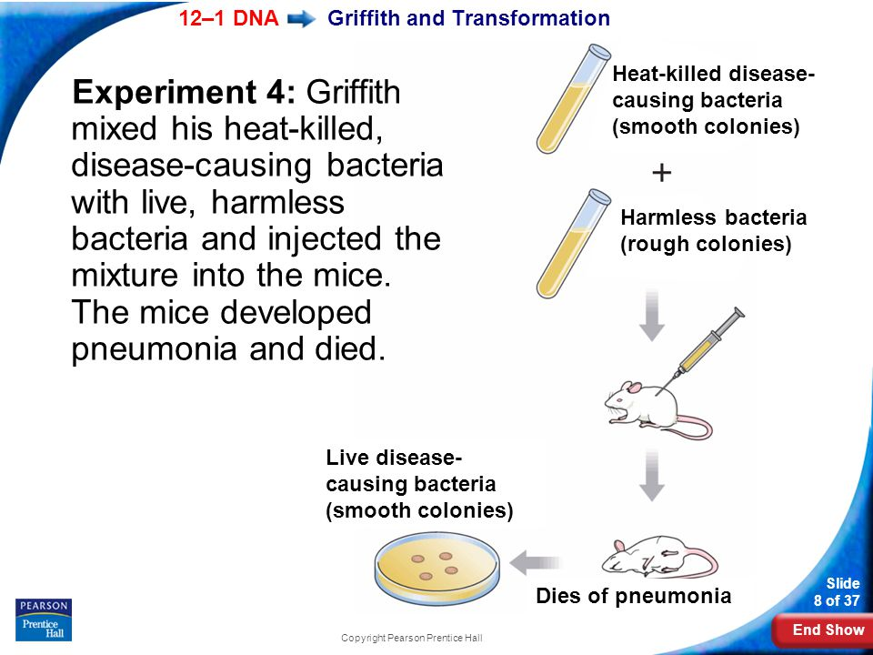 End Show 12–1 DNA Slide 8 of 37 Copyright Pearson Prentice Hall Griffith and Transformation Experiment 4: Griffith mixed his heat-killed, disease-caus