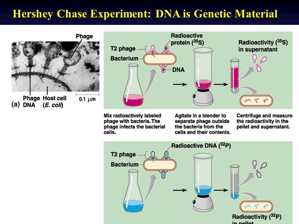 Hershey Chase Experiment: DNA is Genetic Material