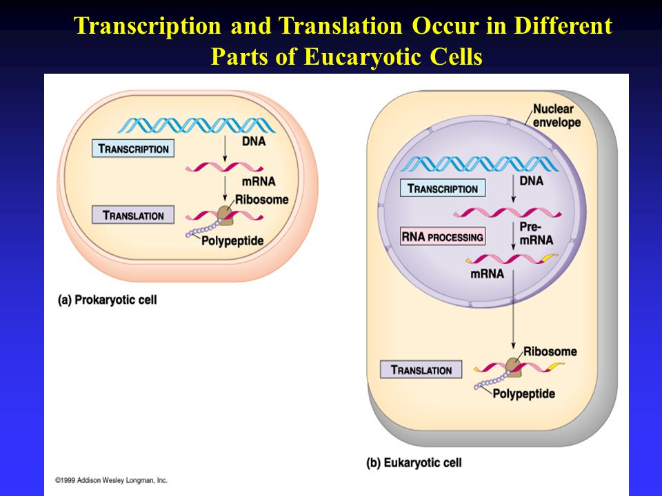 Transcription and Translation Occur in Different Parts of Eucaryotic Cells