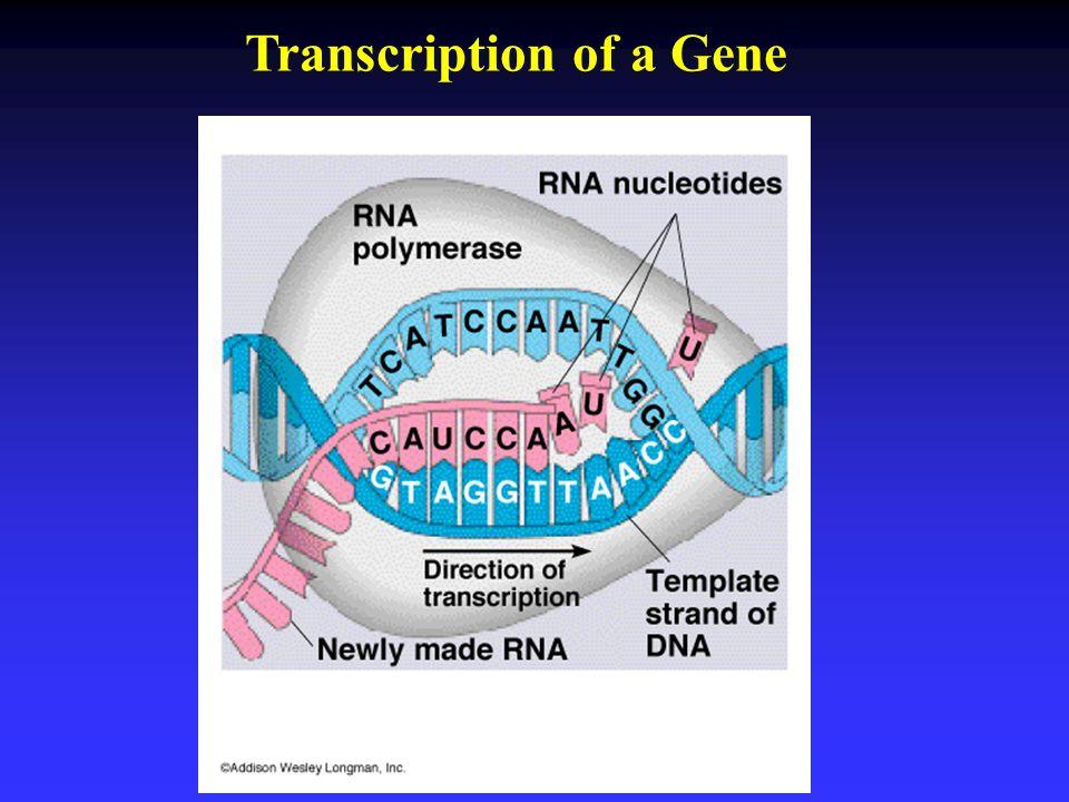 Transcription of a Gene