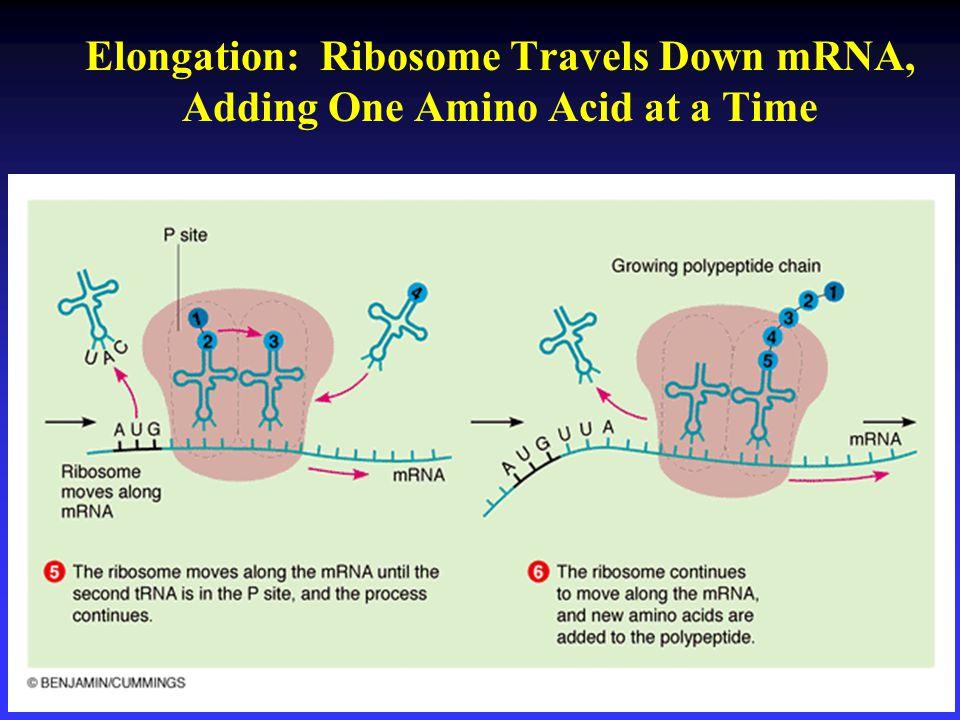 Elongation: Ribosome Travels Down mRNA, Adding One Amino Acid at a Time