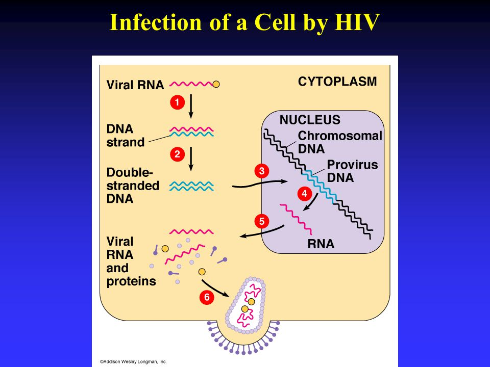 Infection of a Cell by HIV