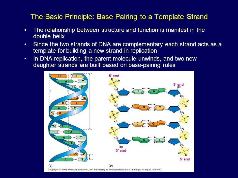 The Basic Principle: Base Pairing to a Template Strand The relationship between structure and function is manifest in the double helix Since the two s