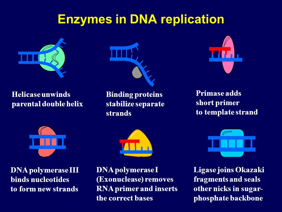 Enzymes in DNA replication Helicase unwinds parental double helix Binding proteins stabilize separate strands DNA polymerase III binds nucleotides to