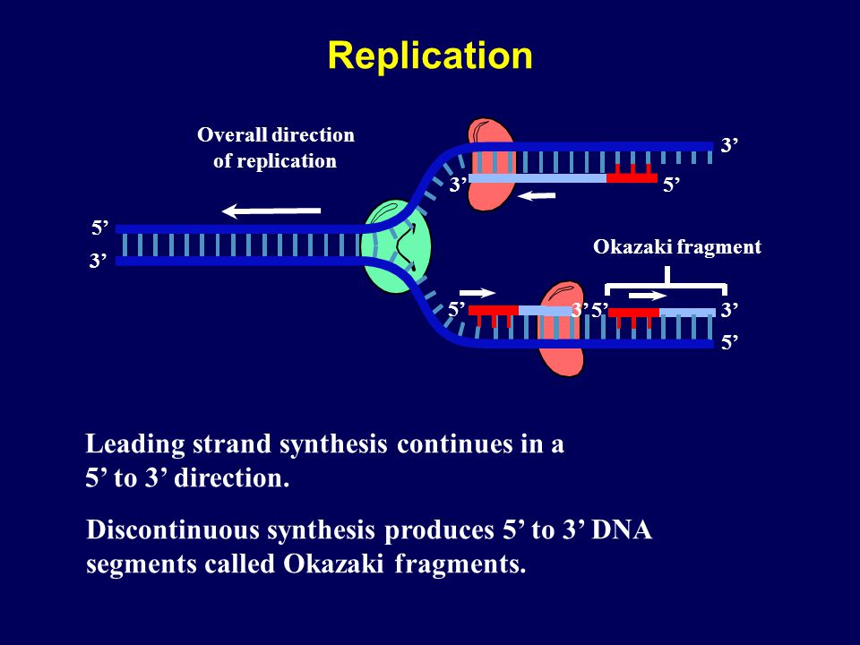 5' 3' 5' 3' 5' 3' Overall direction of replication 3' Leading strand synthesis continues in a 5' to 3' direction. Discontinuous synthesis produces 5'