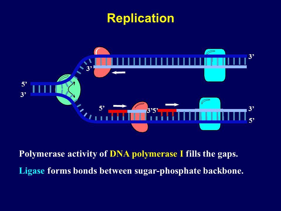 Polymerase activity of DNA polymerase I fills the gaps.