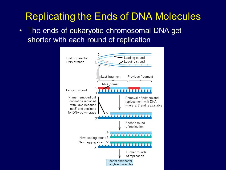 Replicating the Ends of DNA Molecules The ends of eukaryotic chromosomal DNA get shorter with each round of replication End of parental DNA strands Le